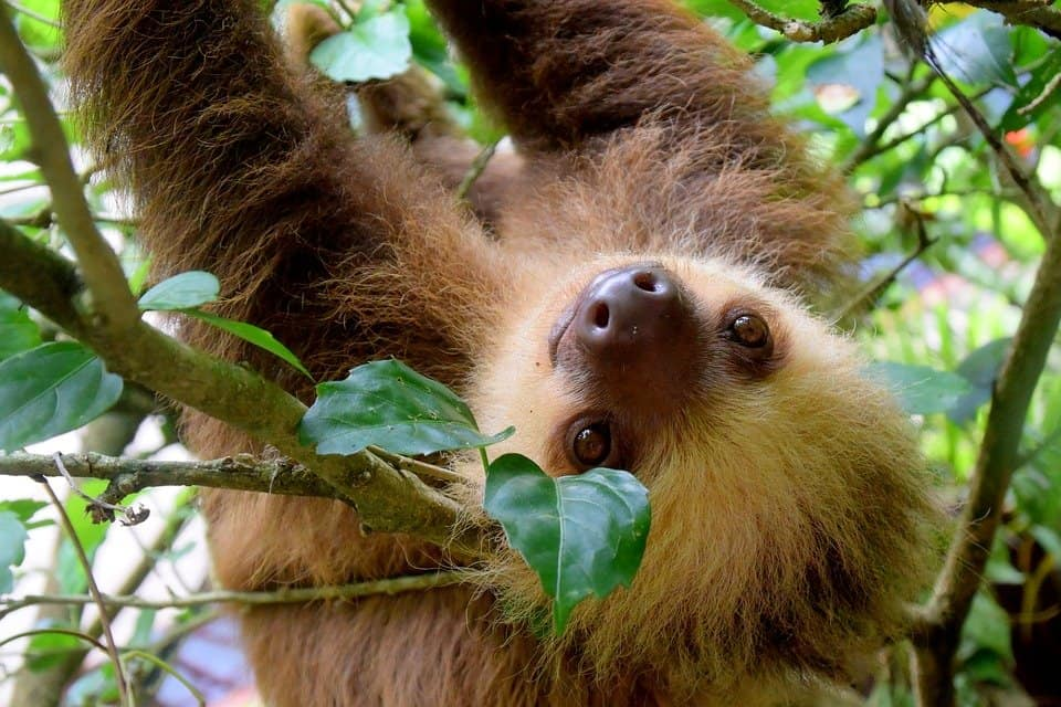 Cute sloth in Costa Rica