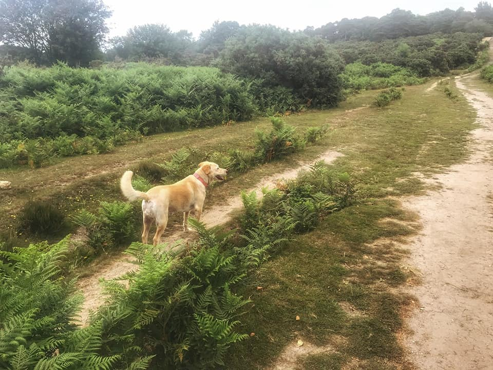 dog walking in the New Forest
