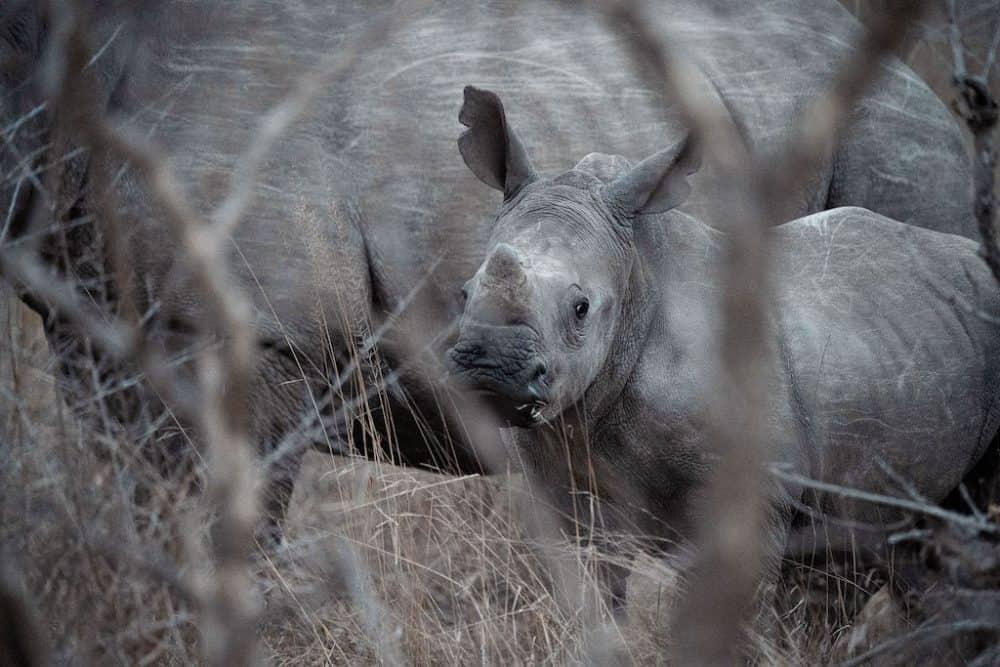 Rhinos Manyeleti Reserve, South Africa