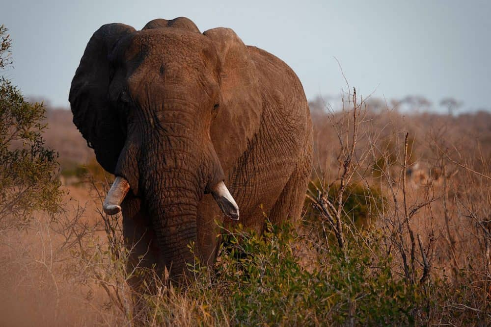 Elephant at Manyeleti Reserve, South Africa
