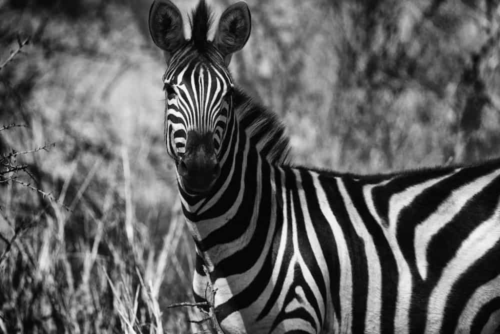 Zebra at Manyeleti Reserve, South Africa