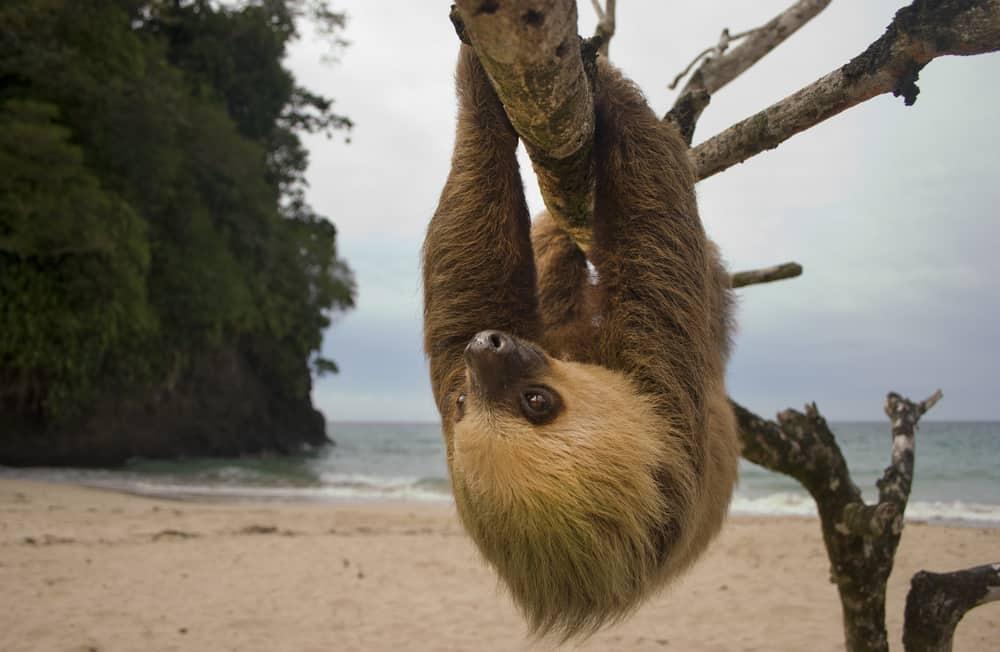 Cute sloth Costa Rica