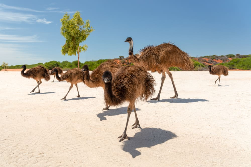 Emu - famous animals of australia