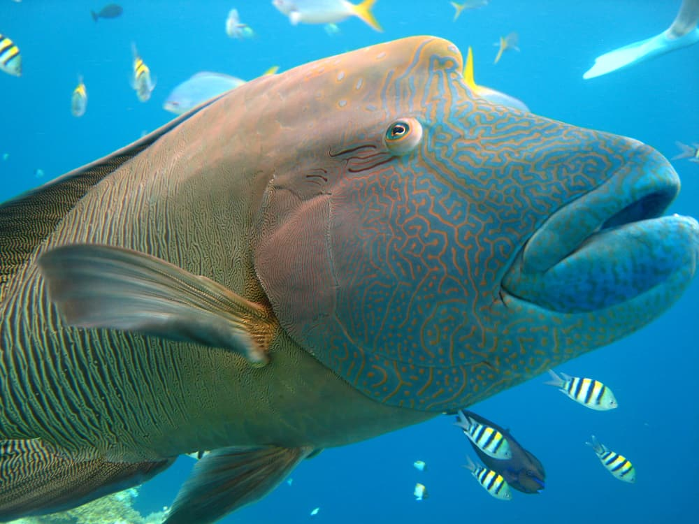 Giant Wrasse Queensland