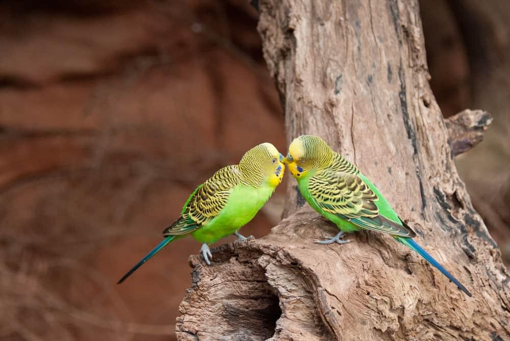 Wild budgie Australia
