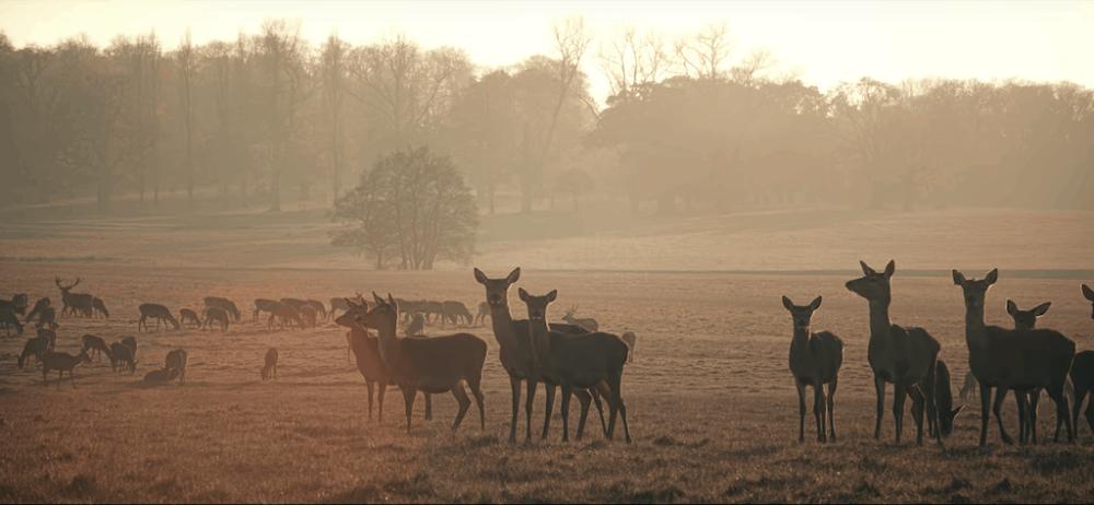 Woburn Abbey Deer