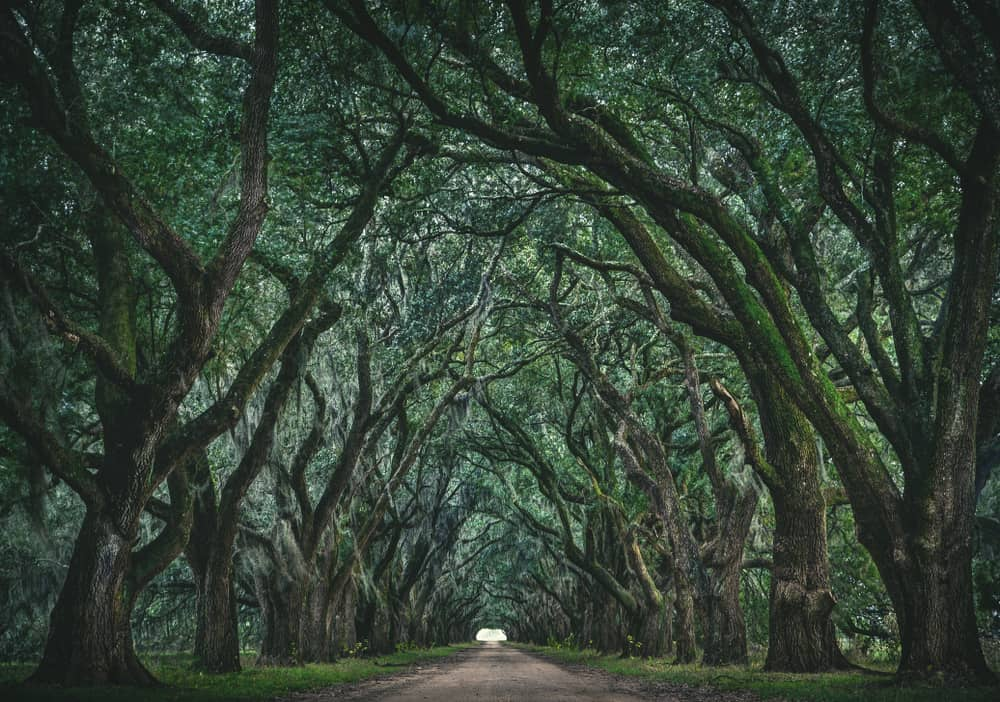 Louisiana Tree Tunnel