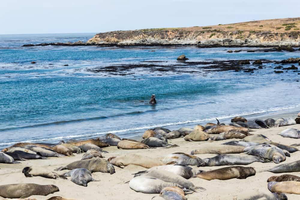 Cambria Elephant Seals