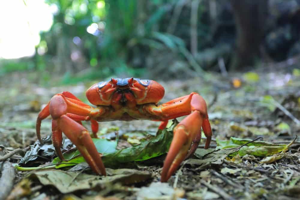 Land Crab Christmas Island