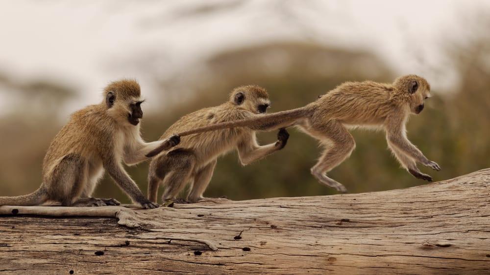 Vervet Monkey Foundation, South Africa