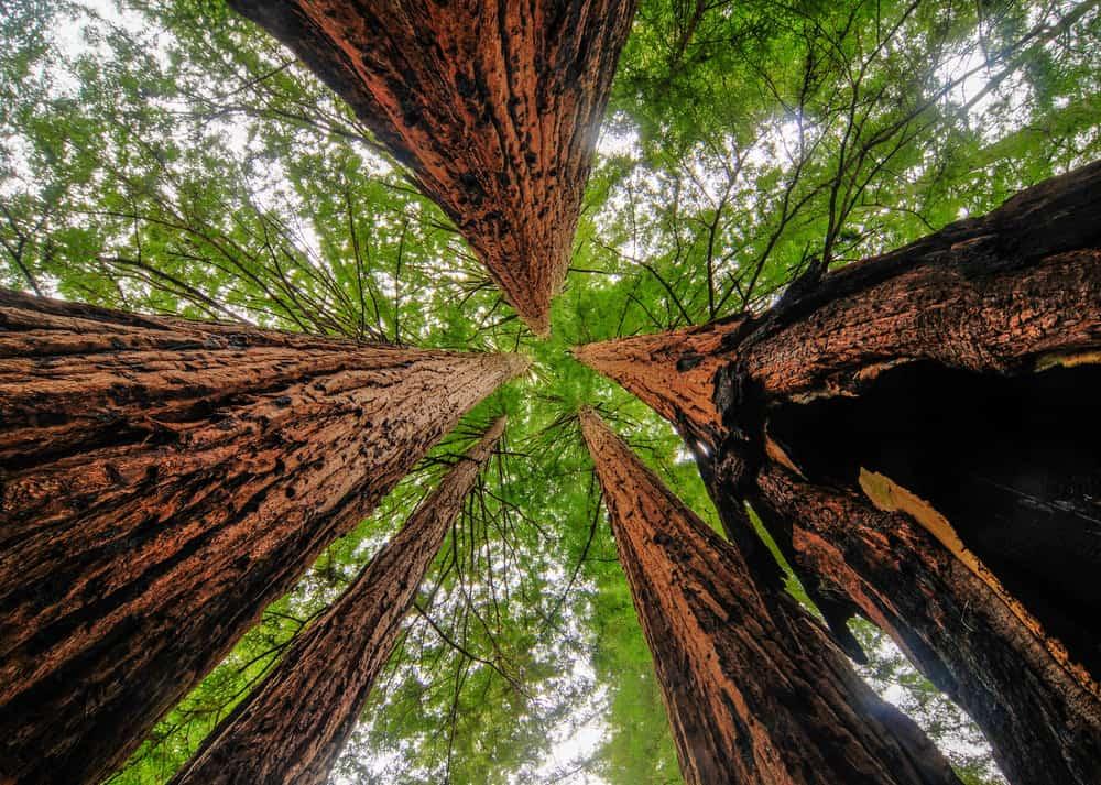 Big Basin Redwoods State Park USA