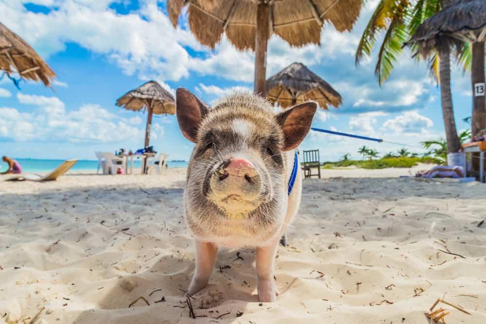 Pig Beach Exuma